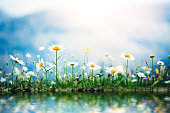 Spring meadow with golden daisies reflecting in the water.