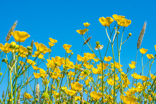 Spring meadow full of yellow flowers. Low angle shot. Focus on foreground.