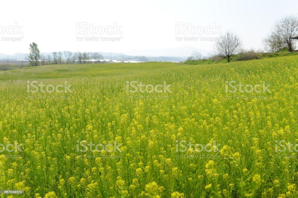 Frühlingswiese mit gelben Blumen Lizenzfreies stock-foto