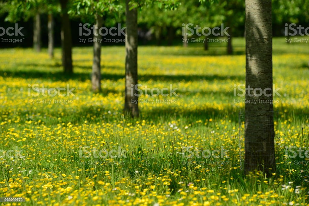 Spring meadow, Jersey, U.K. royalty-free stock photo