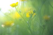 Buttercup in the field