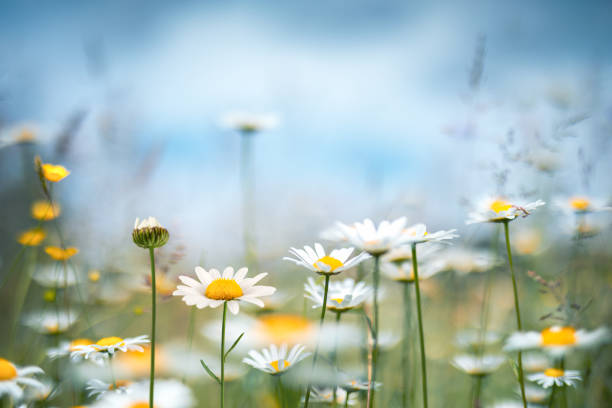 Spring Meadow Spring meadow with golden daisies. springtime stock pictures, royalty-free photos & images