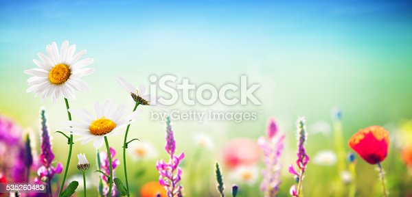 Meadow with flowers - golden daisies, poppy. Copy space.