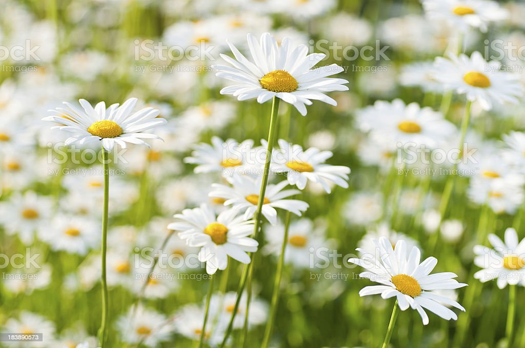 spring meadow wiht marguerite daisy stock photo