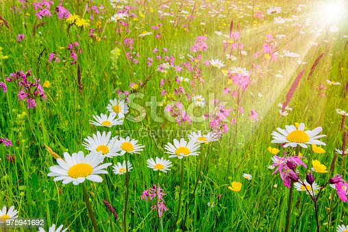 1135260918 istock photo spring meadow with beautiful flowers and sun rays in background 975941692