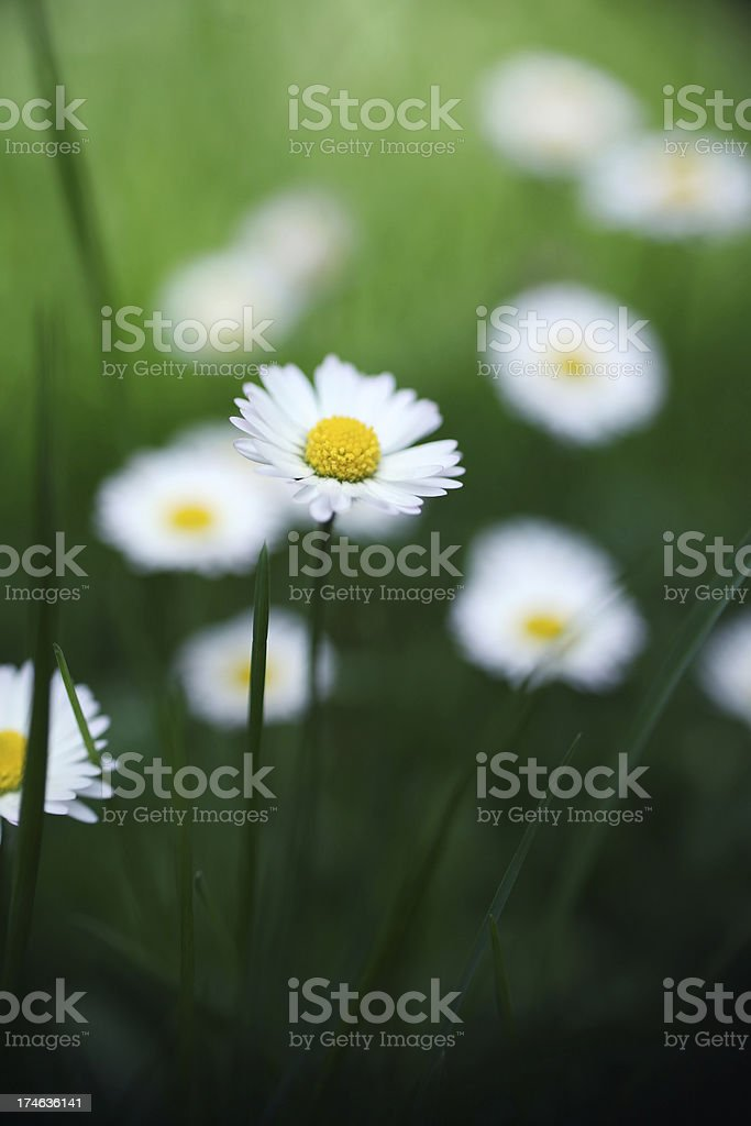 Spring Meadow With Daisies royalty-free stock photo