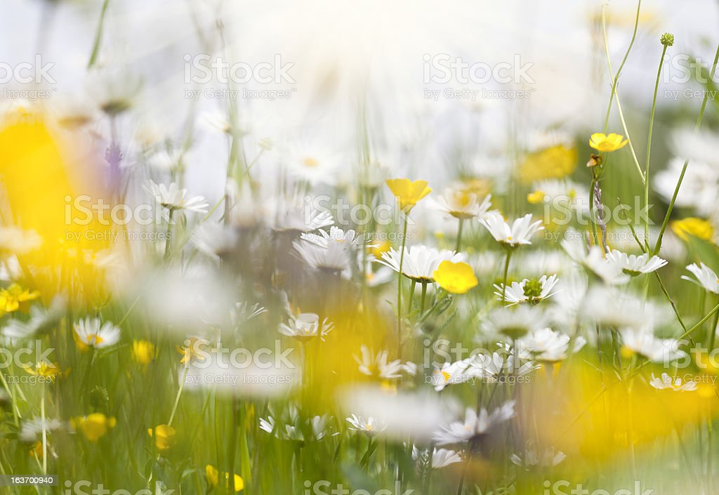 spring meadow with daisy flowers brightly illuminated by the sun royalty-free stock photo
