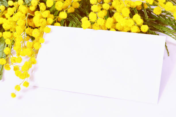 spring mimosa background - white card with space for text - immagini mimosa 8 marzo foto e immagini stock