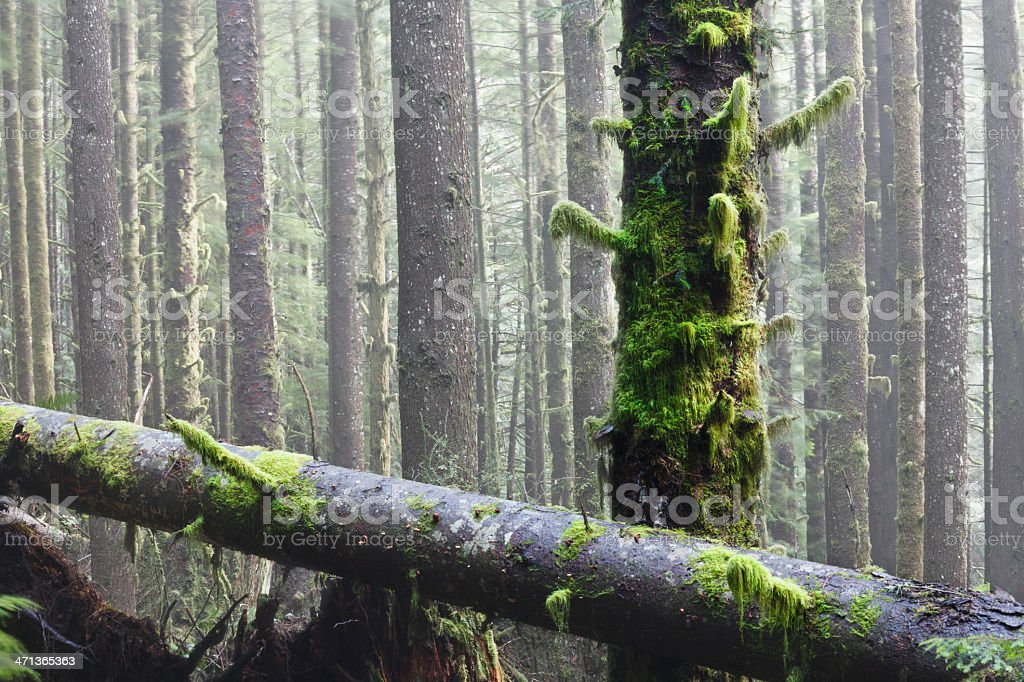 Spring Mist in West Coast Rainforest stock photo