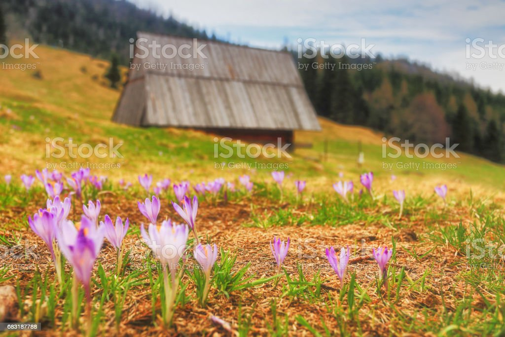Spring mountain landscape with wild crocuses royalty-free 스톡 사진
