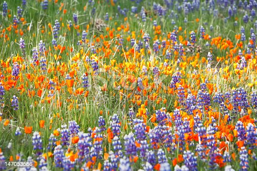 Spring wildflowers growing in an idyllic mountain pasture.  Lupins and poppies growing in the Los Padres National Forest California.