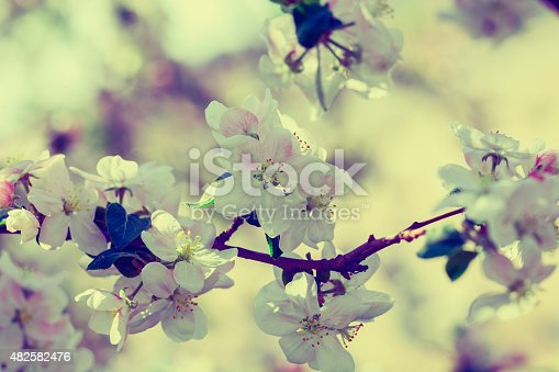 Vintage blossom apple tree at sunrise. Spring natural background