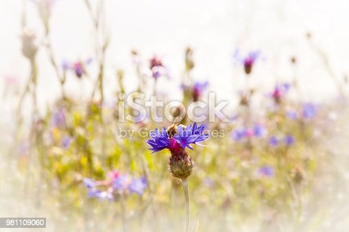 istock Spring natural purple flowers and honey bee ,flower garden 981109060