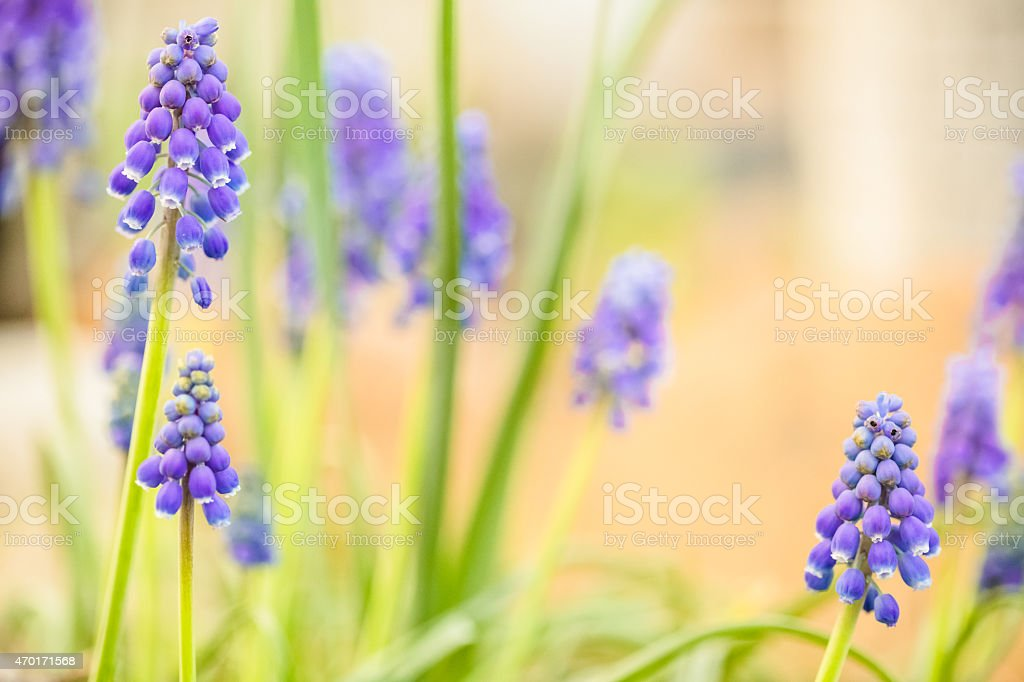 Spring Nature Background - Grape Hyacinth in flower garden royalty-free stock photo