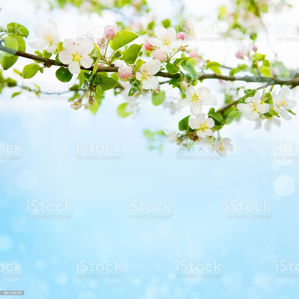 Spring Nature background with Apple blossom stock photo