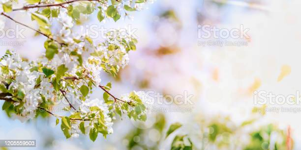 Spring nature background with blossoms apple tree branches on a soft picture id1205559503?b=1&k=6&m=1205559503&s=612x612&h=jo naogzvatqgogbwjprpcir7aqmkjrp0dyidi6wwpy=