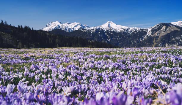 Spring nature in Slovenia, Europe. Velika Planina or Big Pasture Plateau in the Kamnik Alps. stock photo