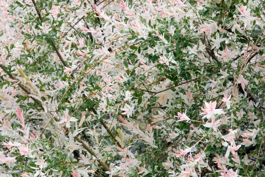 Spring nature real background blossoming bush with pink flowers spring nature real background blossoming bush with pink flowers royalty free stock photo mightylinksfo