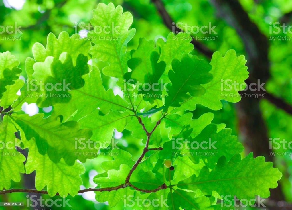 Spring oak leaves on a background of a blurred oak tree