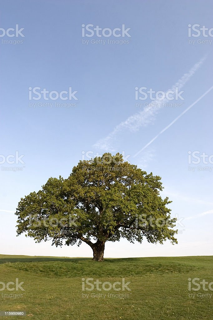 Spring Oak Tree royalty-free stock photo