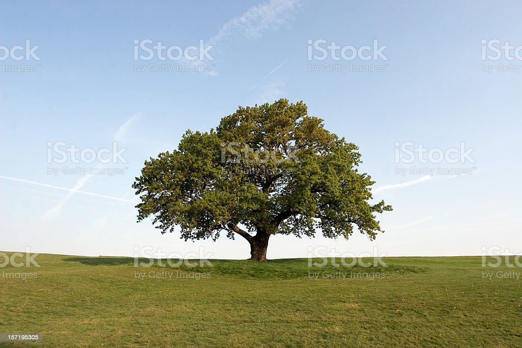 Spring Oak Tree set on a green field with clear blue skies stock photo