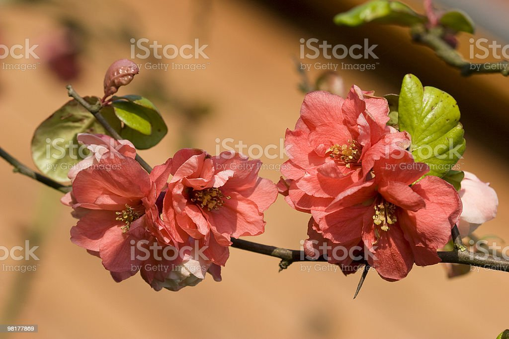 spring of Chaenomeles royalty-free stock photo