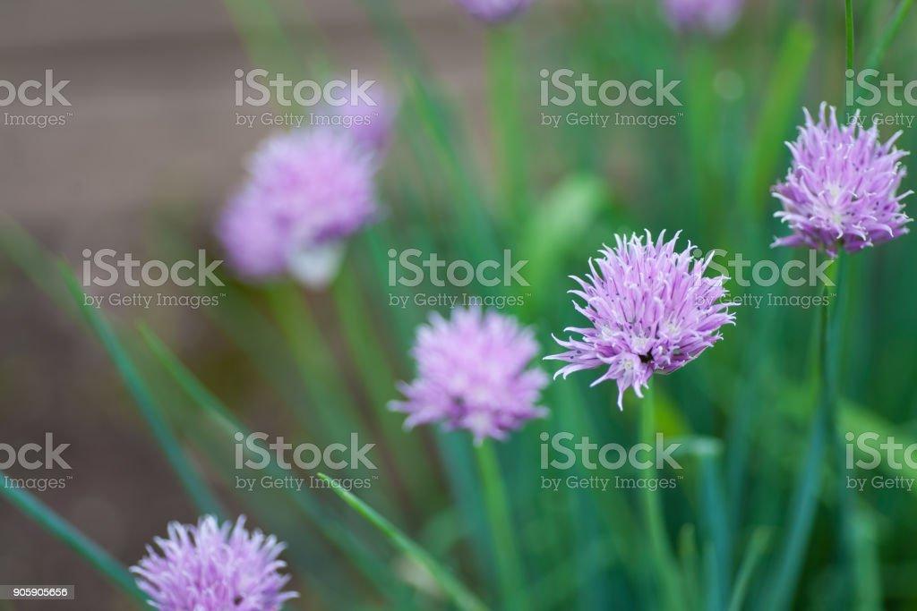 Frühlingszwiebeln Pflanzen blühen – Foto