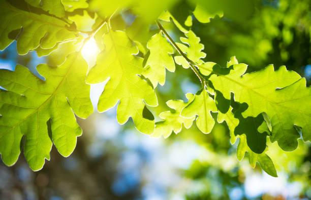 frühjahr oder sommer natur hintergrund mit eiche laub - eichenblatt stock-fotos und bilder