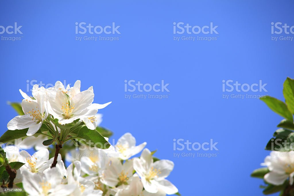 Spring orchard - Blooming royalty-free stock photo