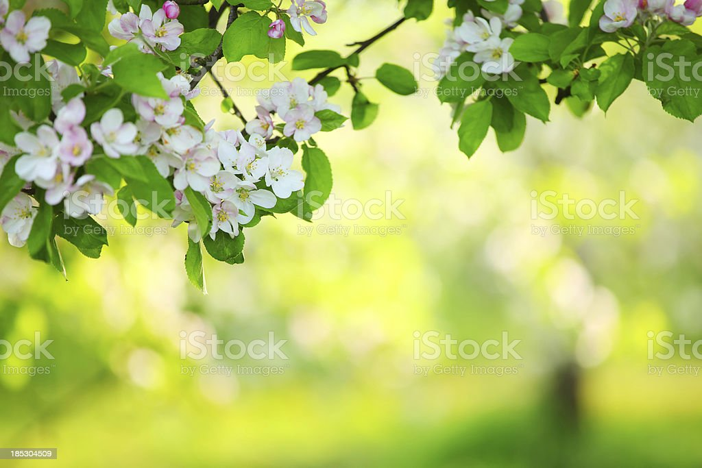 Spring orchard - Blooming Tree stock photo