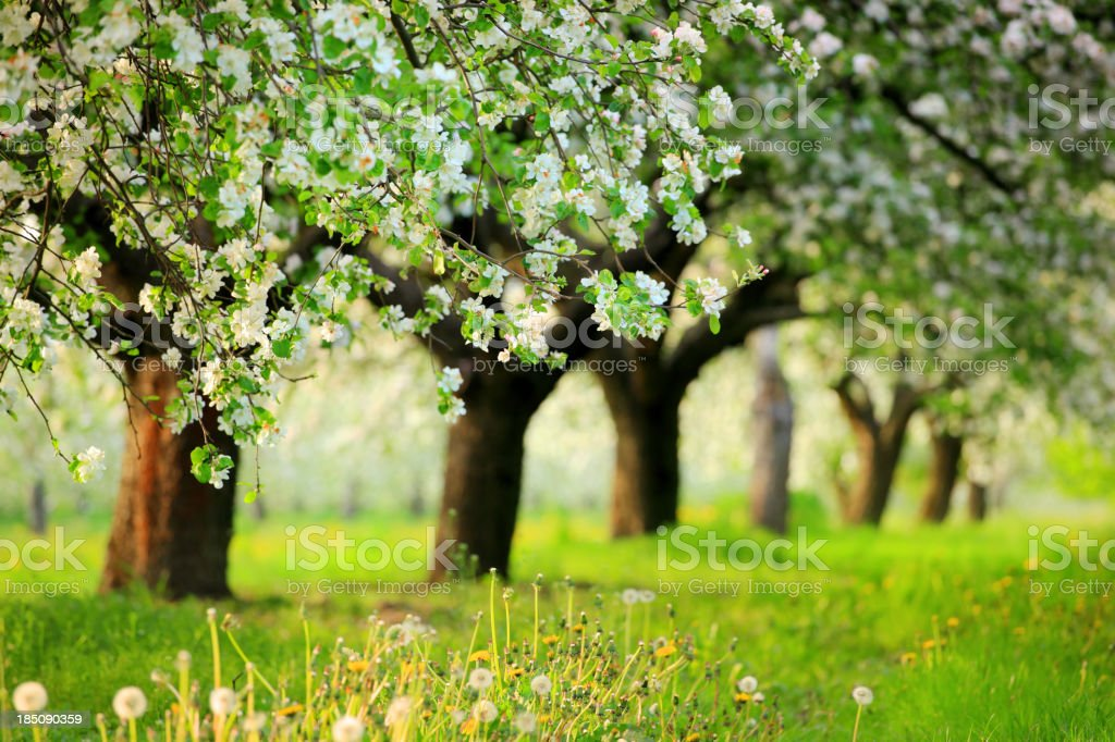 Spring Orchard - Blooming Trees stock photo