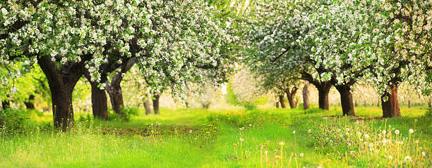 Spring Orchard - Blooming Trees shallow DOF 36 Mpix Panorama stock photo