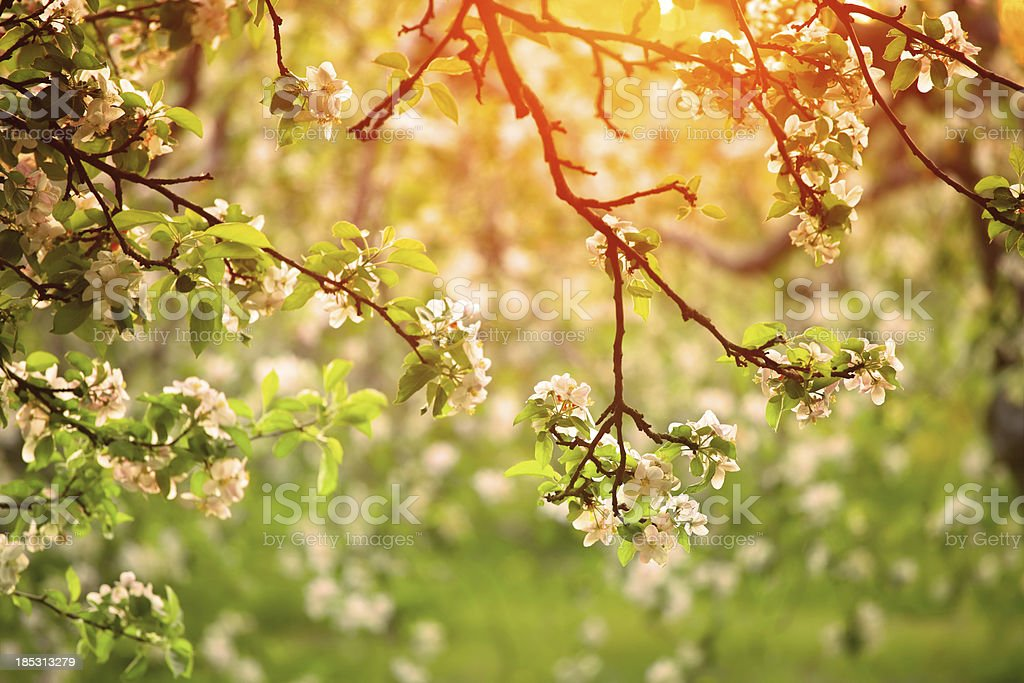 Spring orchard in Sunset Light stock photo