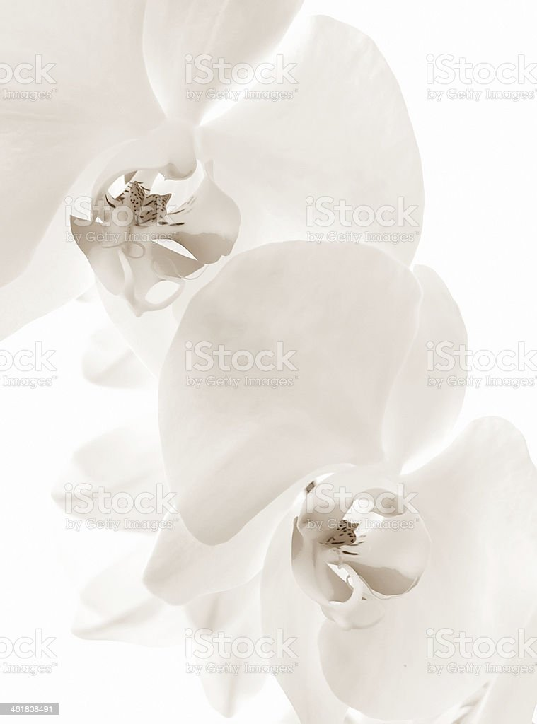 Spring orchid flowerbackground. Sepia stock photo