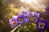 Spring Pansies. Morning view from the balcony.