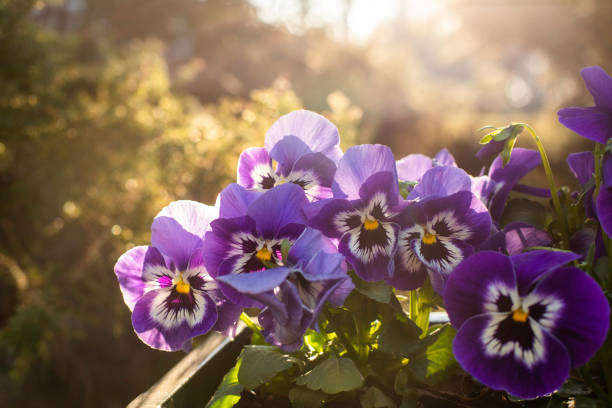 Spring Pansies. Spring Pansies. Morning view from the balcony. pansy stock pictures, royalty-free photos & images