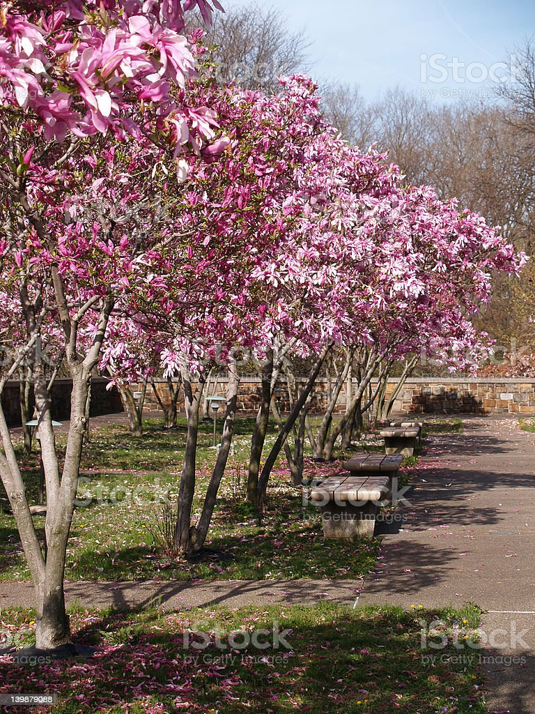 spring park with magnolias stock photo