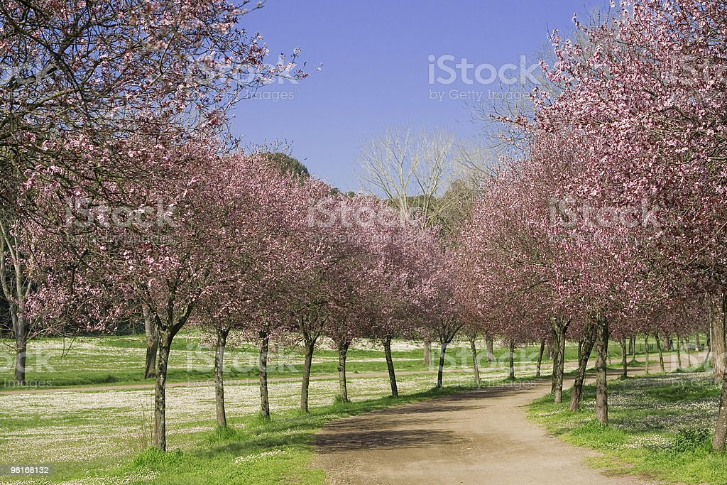 Spring path with plum blossoms. royalty-free stock photo