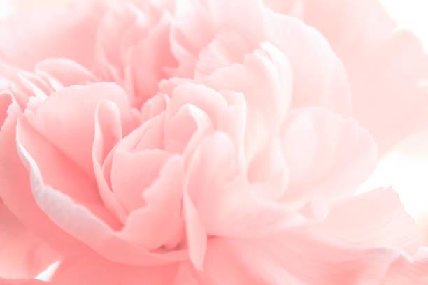 Spring Peon тонированное изображение single flower stock pictures, royalty-free photos & images