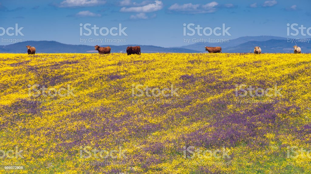 Spring picnic of fresh white daisies, lavender, multifloral natural panoramic landscape with cows grazing stock photo