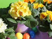 spring flowers like primevères, or primulas in a purple pot with colorful Easter eggs a sunny day and colorful eggs for Easter.