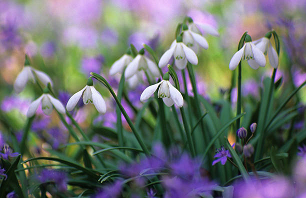 spring - snowdrops stock photos and pictures