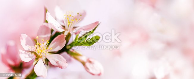 909680446 istock photo Spring pink abstract background of Blooming almond flowers close-up. Copy space 1222062019