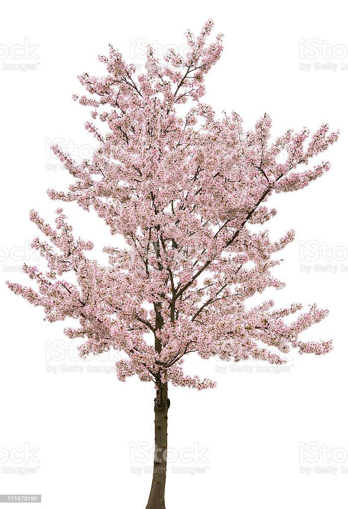Frühling Rosa Blüte Baum Isoliert Auf Weiss Stock-Fotografie und ...
