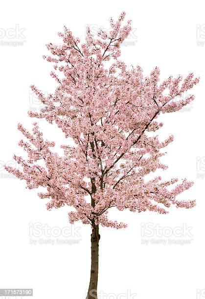 Spring pink blossom tree isolated on white picture id171573190?b=1&k=6&m=171573190&s=612x612&h=d5amiswmz4hscyaxufi9im0o3jbzaxrbzpkxlso9fsi=