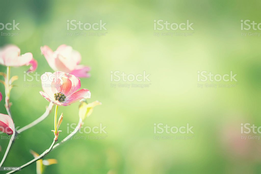 Spring pink dogwood blossom flower with blurred green background stock photo