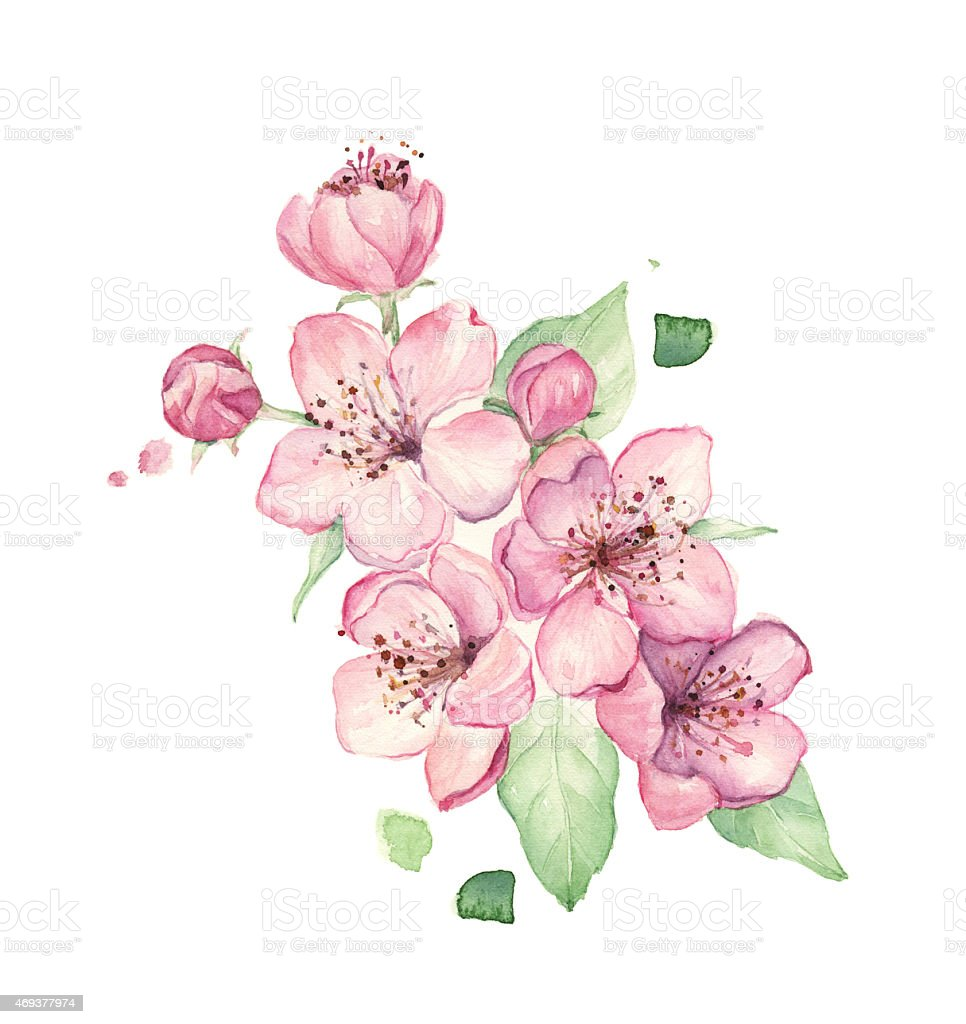 Spring pink flowers isolated on white background, watercolor illustration stock photo