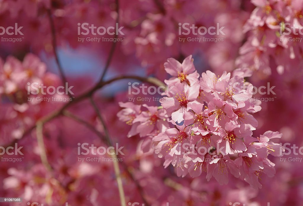 Spring Pink Flowers royalty-free stock photo
