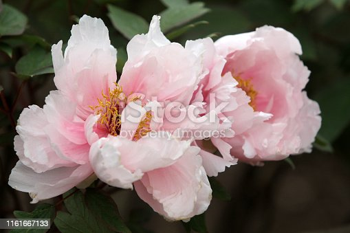 beautiful pink peony blooms against a dark background.