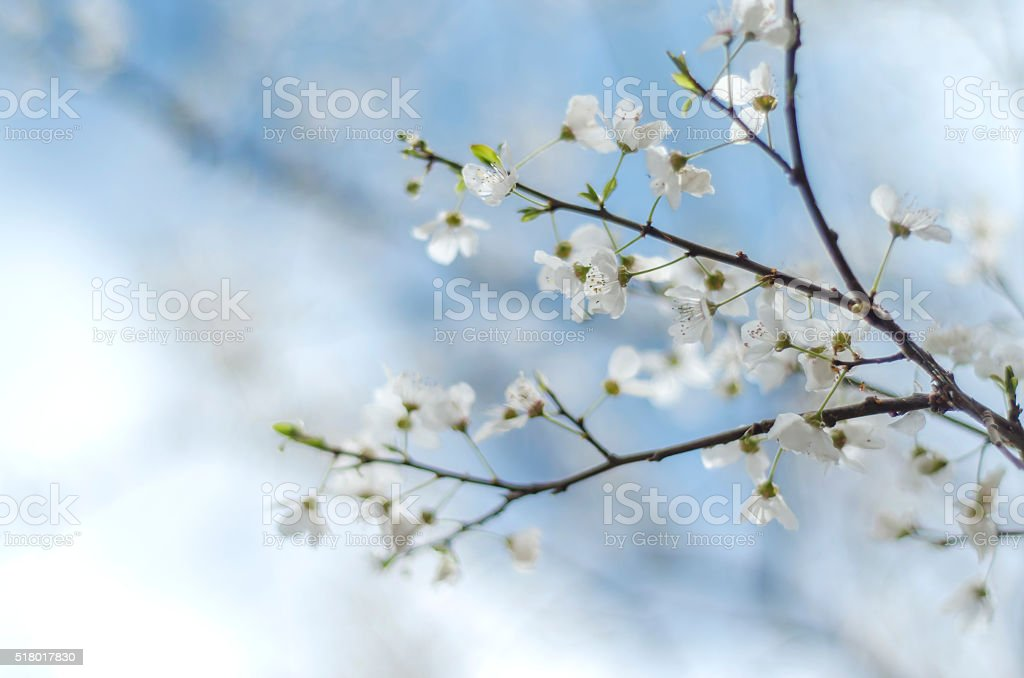 spring plum blossom close-up stock photo